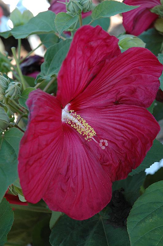 bordeaux hibiscus hibiscus moscheutos 39 bordeaux 39 in. Black Bedroom Furniture Sets. Home Design Ideas