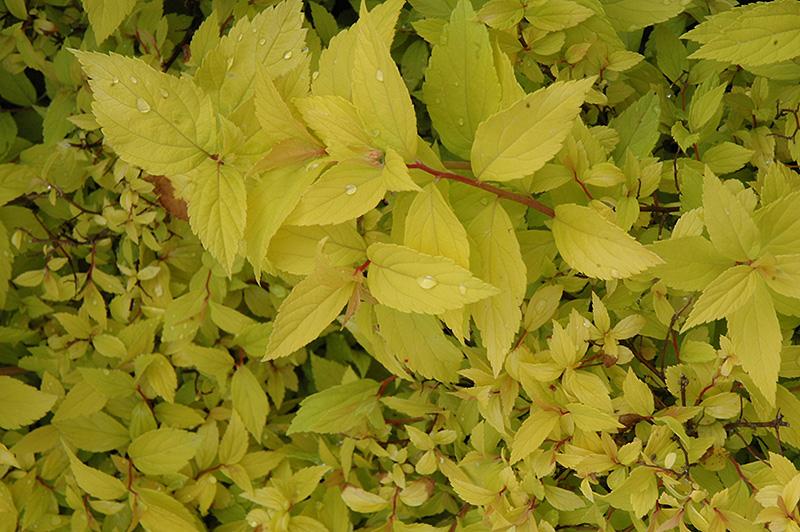 Spiraea Japonica Lemon Princess Lemon Princess Spirea Spiraea