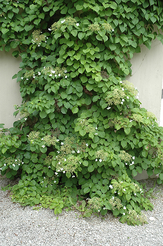 climbing hydrangea hydrangea anomala 39 var petiolaris. Black Bedroom Furniture Sets. Home Design Ideas