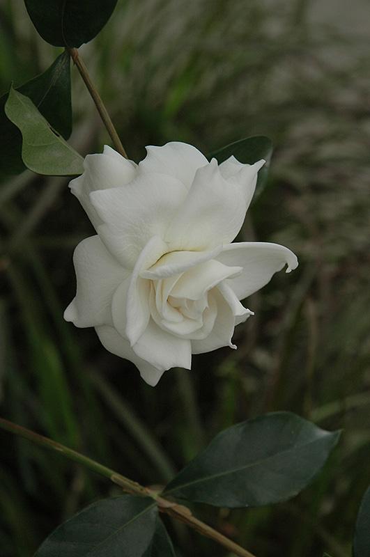 first love gardenia gardenia jasminoides aimee in