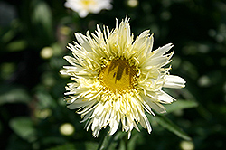 Gold Rush Shasta Daisy (Leucanthemum x maximum 'Goldrush') at Schaefer Greenhouses