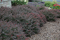 Crimson Pygmy Japanese Barberry (Berberis thunbergii 'Crimson Pygmy') at Schaefer Greenhouses