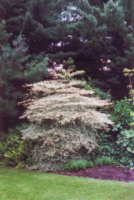 Variegated Pagoda Dogwood Cornus Alternifolia Argentea