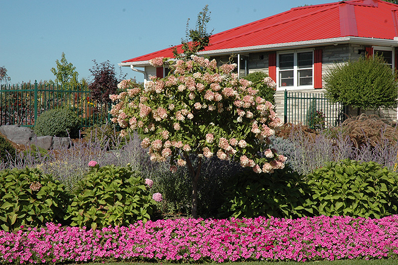 Tree Form Pee Gee Hydrangea Hydrangea Paniculata