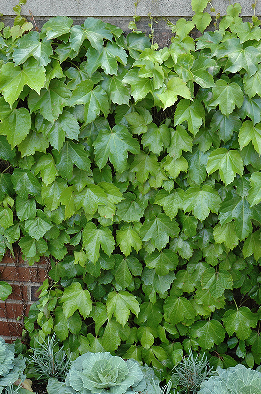 Veitch Boston Ivy Parthenocissus Tricuspidata Veitchii