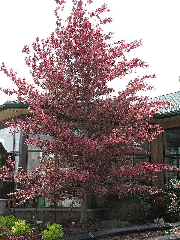 Tricolor Beech Fagus Sylvatica Roseomarginata In