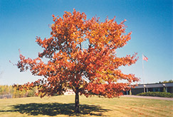 Red Oak (Quercus rubra) at Schaefer Greenhouses