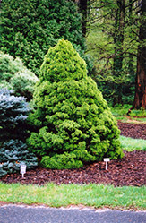 Dwarf Alberta Spruce (Picea glauca 'Conica') at Schaefer Greenhouses