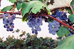 Concord Grape (Vitis 'Concord') at Schaefer Greenhouses