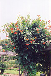 Trumpetvine (Campsis radicans) at Schaefer Greenhouses