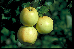 Honeygold Apple (Malus 'Honeygold') at Schaefer Greenhouses