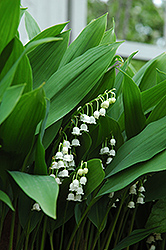 Lily-Of-The-Valley (Convallaria majalis) at Schaefer Greenhouses