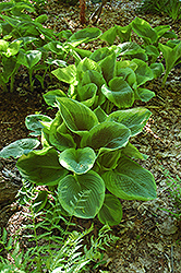 Frances Williams Hosta (Hosta 'Frances Williams') at Schaefer Greenhouses