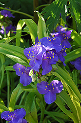 Sweet Kate Spiderwort (Tradescantia x andersoniana 'Sweet Kate') at Schaefer Greenhouses