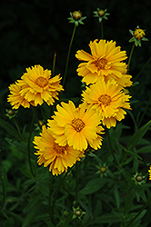 Early Sunrise Tickseed (Coreopsis 'Early Sunrise') at Schaefer Greenhouses