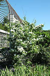 Natchez Mockorange (Philadelphus x virginalis 'Natchez') at Schaefer Greenhouses