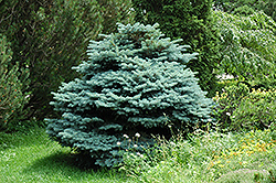 Globe Blue Spruce (Picea pungens 'Globosa') at Schaefer Greenhouses