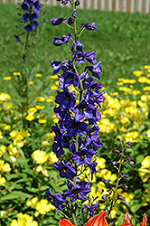 Black Knight Larkspur (Delphinium 'Black Knight') at Schaefer Greenhouses
