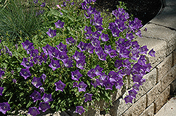 Blue Clips Bellflower (Campanula carpatica 'Blue Clips') at Schaefer Greenhouses