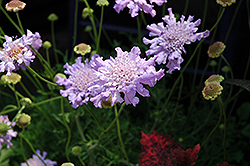 Giant Blue Pincushion Flower (Scabiosa 'Giant Blue') at Schaefer Greenhouses