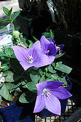 Astra Blue Balloon Flower (Platycodon grandiflorus 'Astra Blue') at Schaefer Greenhouses