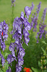 Common Monkshood (Aconitum napellus) at Schaefer Greenhouses