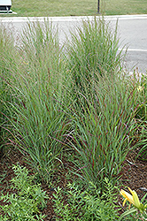 Shenandoah Reed Switch Grass (Panicum virgatum 'Shenandoah') at Schaefer Greenhouses