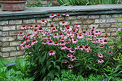 Magnus Coneflower (Echinacea purpurea 'Magnus') at Schaefer Greenhouses