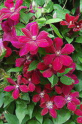 Rouge Cardinal Clematis (Clematis 'Rouge Cardinal') at Schaefer Greenhouses