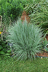 The Blues Bluestem (Schizachyrium scoparium 'The Blues') at Schaefer Greenhouses