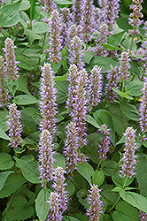 Blue Fortune Anise Hyssop (Agastache 'Blue Fortune') at Schaefer Greenhouses