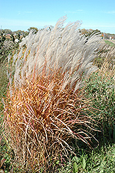 Autumn Red Maiden Grass (Miscanthus sinensis 'Autumn Red') at Schaefer Greenhouses