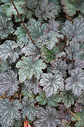 Frosted Violet Coral Bells (Heuchera 'Frosted Violet') at Schaefer Greenhouses