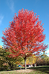 Autumn Blaze Maple (Acer x freemanii 'Jeffersred') at Schaefer Greenhouses