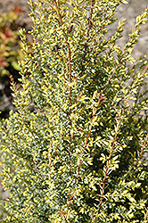 Gold Cone Juniper (Juniperus communis 'Gold Cone') at Schaefer Greenhouses