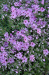 Fort Hill Moss Phlox (Phlox subulata 'Fort Hill') at Schaefer Greenhouses