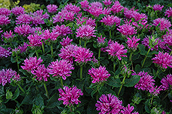 Petite Delight Beebalm (Monarda 'Petite Delight') at Schaefer Greenhouses