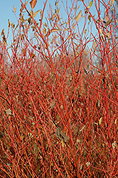 Cardinal Dogwood (Cornus sericea 'Cardinal') at Schaefer Greenhouses