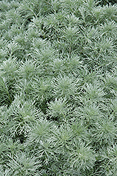 Silver Mound Artemesia (Artemisia schmidtiana 'Silver Mound') at Schaefer Greenhouses