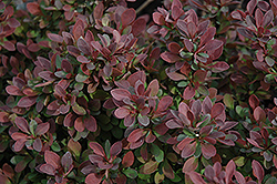 Royal Burgundy Japanese Barberry (Berberis thunbergii 'Gentry') at Schaefer Greenhouses