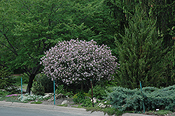 Dwarf Korean Lilac (tree form) (Syringa meyeri 'Palibin (tree form)') at Schaefer Greenhouses