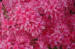 Rosy Lights Azalea (Rhododendron 'Rosy Lights') at Schaefer Greenhouses