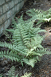 Ghost Fern (Athyrium 'Ghost') at Schaefer Greenhouses