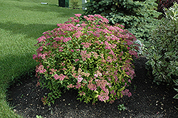 Goldflame Spirea (Spiraea x bumalda 'Goldflame') at Schaefer Greenhouses