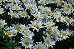 Silver Princess Shasta Daisy (Leucanthemum x superbum 'Silver Princess') at Schaefer Greenhouses