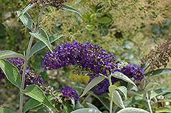 Adonis Blue™ Butterfly Bush (Buddleia davidii 'Adokeep') at Schaefer Greenhouses