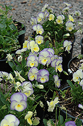 Etain Pansy (Viola 'Etain') at Schaefer Greenhouses