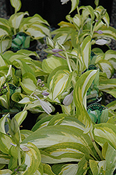 Summer Music Hosta (Hosta 'Summer Music') at Schaefer Greenhouses