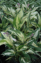 Revolution Hosta (Hosta 'Revolution') at Schaefer Greenhouses