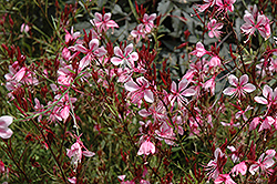 Butterfly Gaura (Gaura lindheimeri) at Schaefer Greenhouses